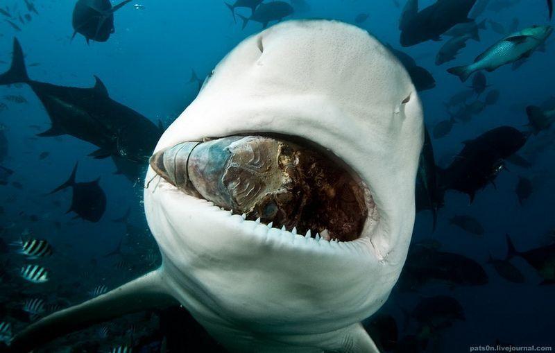 Акулы - самые знаменитые рыбы.