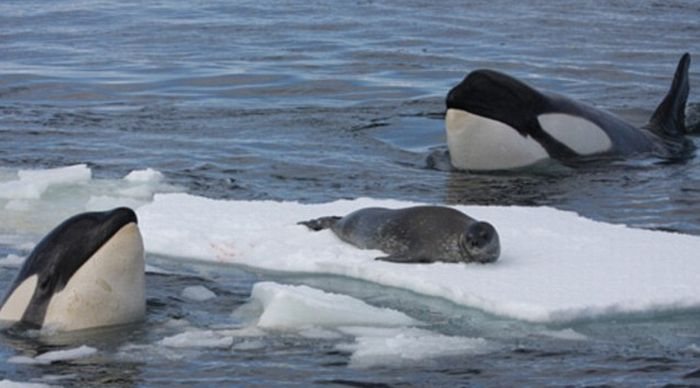 poor seal attacked by team of killer whales