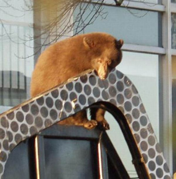 Bear cub caught in garbage truck in downtown Vancouver, Canada