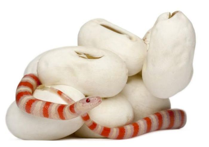 baby milk snake hatches from egg