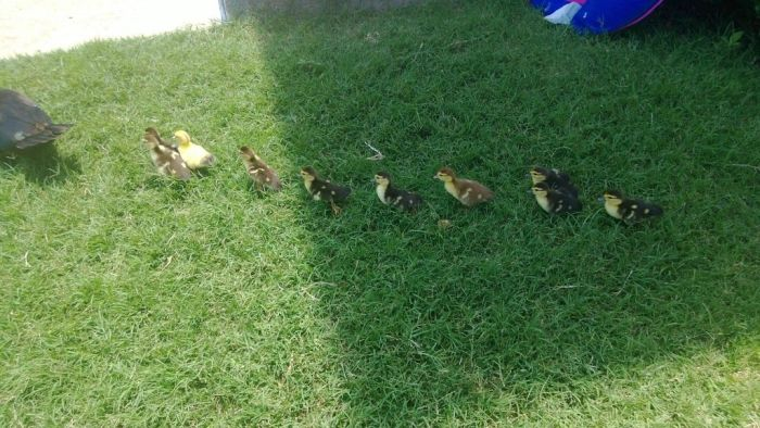 duck laid eggs and made some ducklings