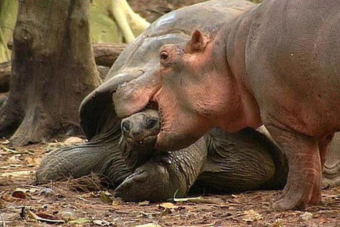 orphan hippo with a 130 years old tortoise