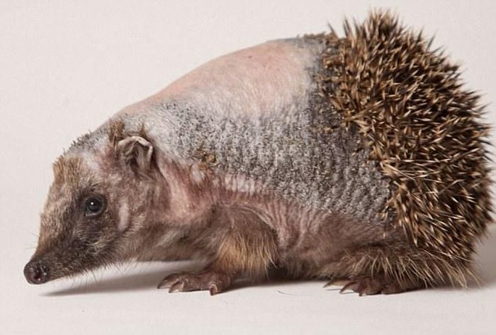 hedgehog recovery with aloe vera therapy