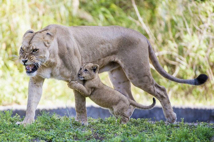 Three-month-old lion cub K'wasi meet his mom Asha, Miami-Dade Zoological Park and Gardens, Miami, Florida, United States