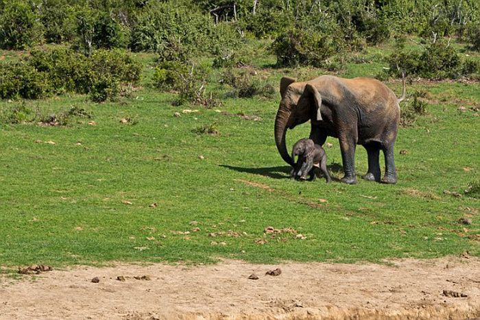 Rescuing a baby elephant, Addo Elephant National Park, Port Elizabeth, South Africa
