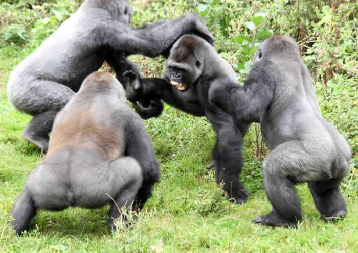 Gorillas fight, Dartmoor Zoological Park, Devon, United Kingdom