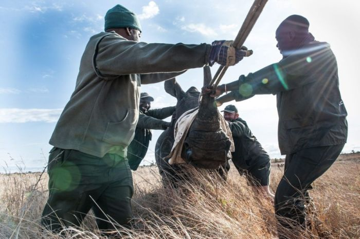 Rescuing rhinoceros, Kruger National Park, South Africa