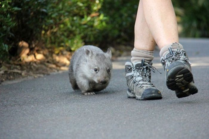 Wombat orphan finds a new family, Taronga Zoo, Sydney, New South Wales, Australia