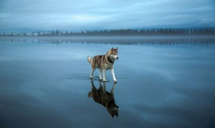 Siberian Husky on a frozen lake