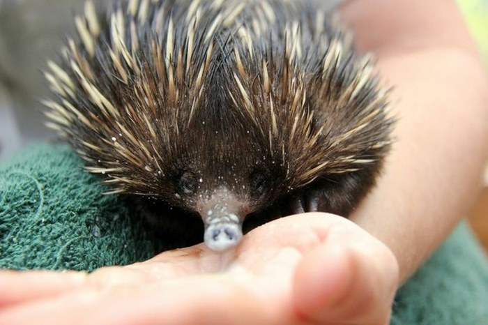 Baby echidna, Taronga Zoo, Sydney, New South Wales, Australia