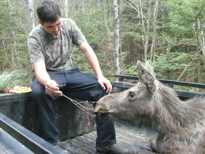 moose yearling rescued