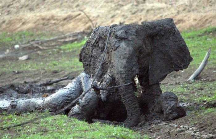 elephant rescued from the mud