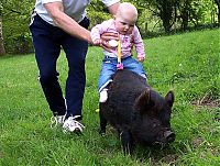 TopRq.com search results: piglet, miniature pig