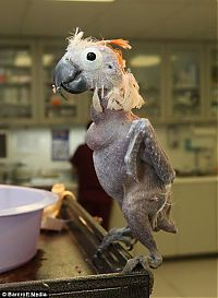 TopRq.com search results: Oscar - a bald parrot