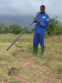 TopRq.com search results: rats trained to locate explosives, african marsupials