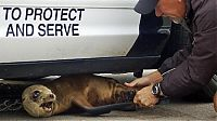 TopRq.com search results: baby seal hiding under a police car