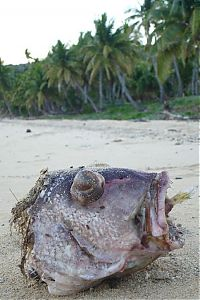 TopRq.com search results: Large fish killed by a Pufferfish
