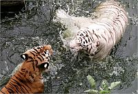 TopRq.com search results: white tiger against siberian tiger