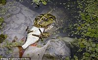 TopRq.com search results: frog eats a fish
