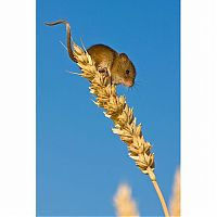 TopRq.com search results: harvest mouse