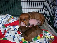 TopRq.com search results: dachshund adopts a little pig