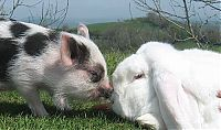 TopRq.com search results: miniature pig and a rabbit
