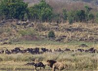 TopRq.com search results: little brave wildebeest