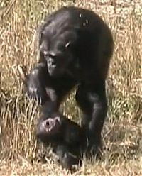 TopRq.com search results: chimpanzees mother mourning her dead child
