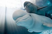 TopRq.com search results: Baby beluga whale, Shedd Aquarium, Chicago, United States