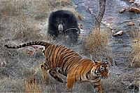 TopRq.com search results: mother bear chased a tiger away