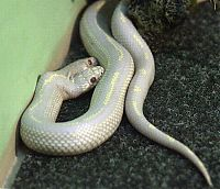 TopRq.com search results: albino snake with two heads