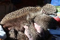 TopRq.com search results: baby hedgehogs