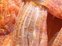 TopRq.com search results: Giant jellyfish, Kayak Point, Washington, United States
