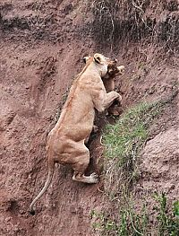 TopRq.com search results: lion cub saved by lioness