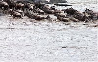 TopRq.com search results: Antelope saved from crocodiles by a hippopotamus, Kenya