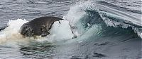 TopRq.com search results: poor seal attacked by team of killer whales