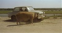 TopRq.com search results: pig eating a trabant car