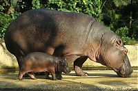 TopRq.com search results: Baby hippo born, Berlin ZOO, Germany