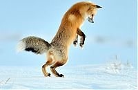 TopRq.com search results: Fox hunting for a mouse, Yellowstone National Park, Wyoming, United States