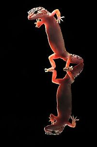 TopRq.com search results: dancing gecko lizard