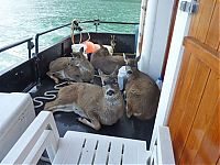 TopRq.com search results: Four deer saved from water, Stephens Passage, Alexander Archipelago, Alaska, United States