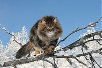 TopRq.com search results: Amur Ezra, Siberian cat in the winter