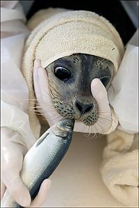 TopRq.com search results: Baby seals rescued by people, Denmark