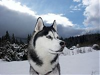 TopRq.com search results: husky dog