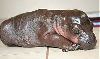 TopRq.com search results: 6-day-old baby hippopotamus calf