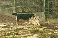 TopRq.com search results: tiger and a dog