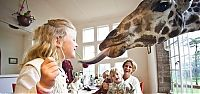 TopRq.com search results: giraffes visit family for breakfast