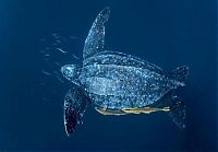 TopRq.com search results: leatherback sea turtle