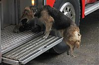 TopRq.com search results: Mother dog saves puppies from fire, Santa Rosa de Temuco, Chile