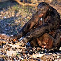 TopRq.com search results: Kanzi, 31-year-old food cooking bonobo chimpanzee